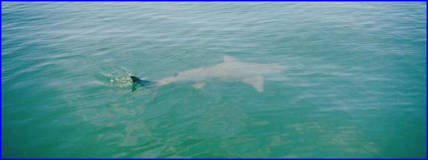 Anna Maria Island Fishing Report: Captain Mark Howard-08-09-2013