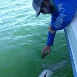 shark release