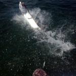 tarpon at the boat